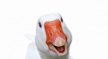 Photo of white smiling goose on white background