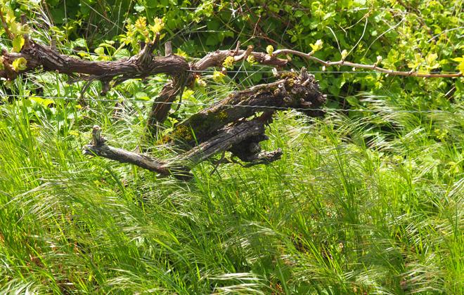 Ein Rebstock in Blüte, mitten im Hasennestle.