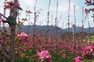 Rosa Apfelbluete im Apfelgarten von Thomas Kohl