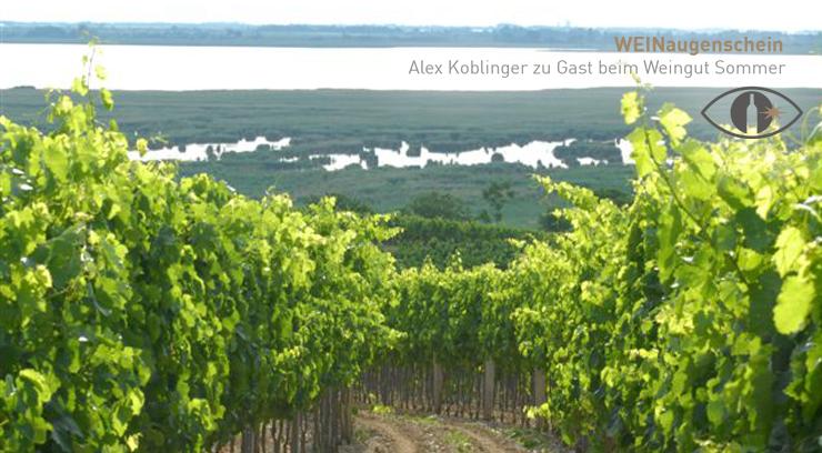 Weingärten vom Weingut Sommer mit Blick auf den Neusiedler See