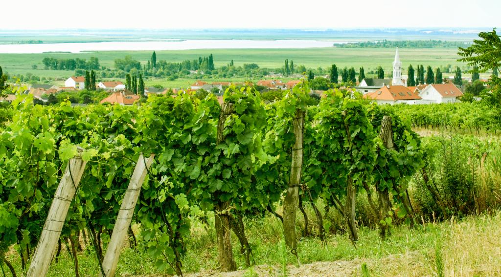 Weingarten von Weingut Sommer mit Blick auf Neusiedler See